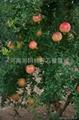 石榴樹 3