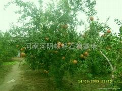 供應石榴樹
