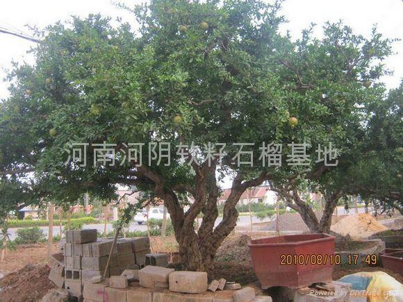 供應石榴樹 2