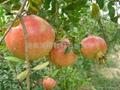 突尼斯石榴樹苗