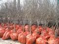 突尼斯石榴樹苗 2