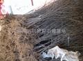 突尼斯石榴樹苗 3
