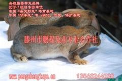 鲁南公羊兔肉兔优良繁殖率高出栏快报酬高