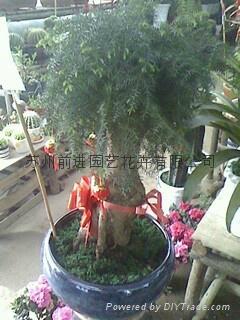 蘇州植物租賃 蘇州綠植租賃 蘇州盆栽租賃 蘇州花草租賃 蘇州花木租賃 1