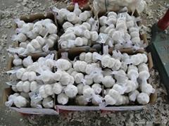 chinese fresh garlic seller
