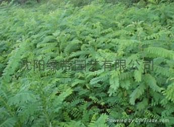 边坡绿化用草种 3