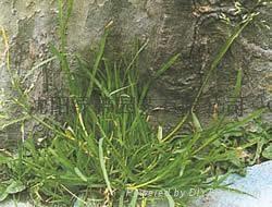 边坡绿化用草种 5