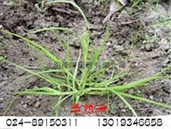 邊坡綠化用草種