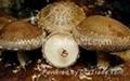 Lentinula edodes polysaccharide