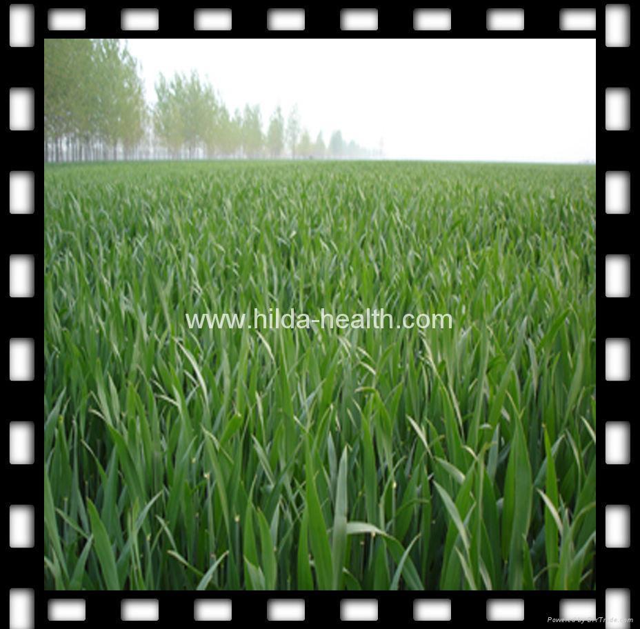 Organic Wheat Grass Powder 1
