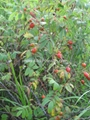 Rose hips dried fruits 2