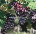 Organic grape seed oil  1