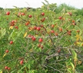 Rose hip extract  3