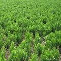 Stevia leaf extract(stevioside) 3