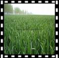 有機小麥苗提取物(麥綠素) 5