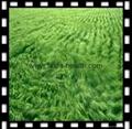 Organic Barley grass juice green powder 2