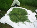 Organic Barley grass juice green powder