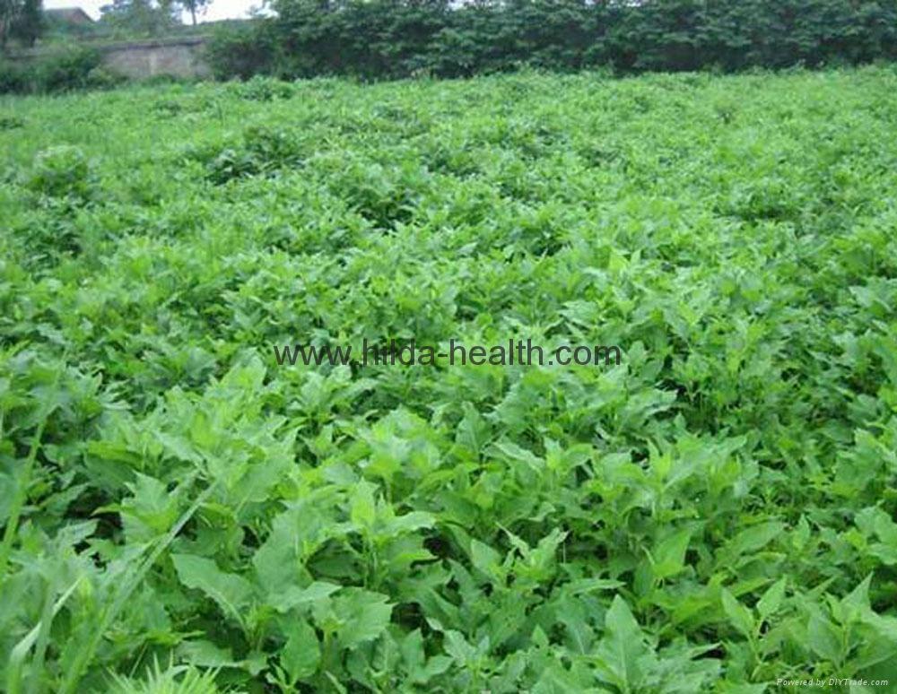 Organic alfalfa grass powder 3