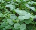 Organic buckwheat grass powder