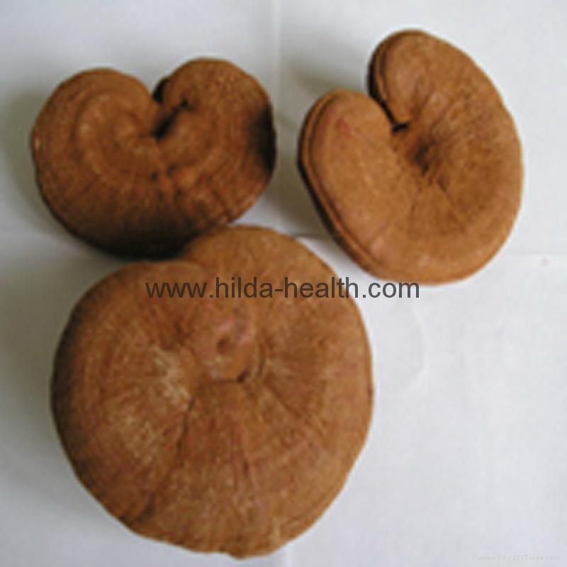 Broken Reishi spore powder(ganoderma lucidum)  2