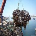 Machine dried cut kelp laminaria