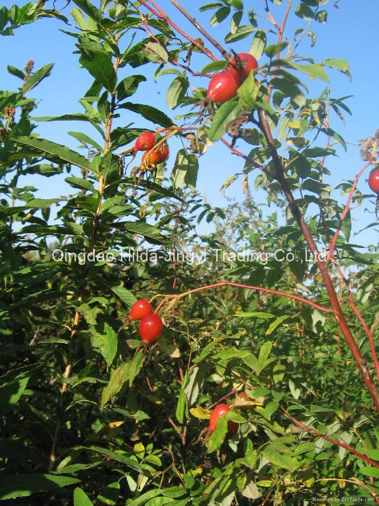 Rosehip fruits