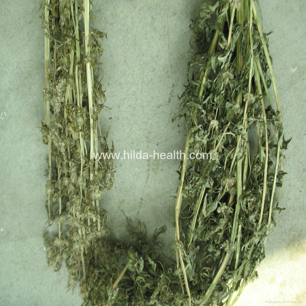 Wholesale High Quality Dried Herbal Leonuri Motherwort Natural Dried Leonurus Si 2
