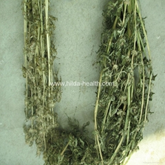 Herba leonuri(Motherwort)