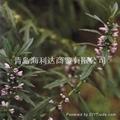 益母草 2