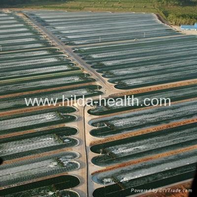 Organic spirulina powder base
