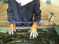 Raw of machine dried cut kelp swelling 15-18