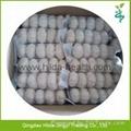 2015 Chinese Garlic 2