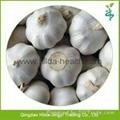 2015 Chinese Garlic