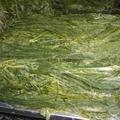 Raw of Frozen shredded wamake stem