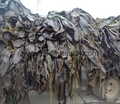 2019 Crop Machine dried sea kelp cut