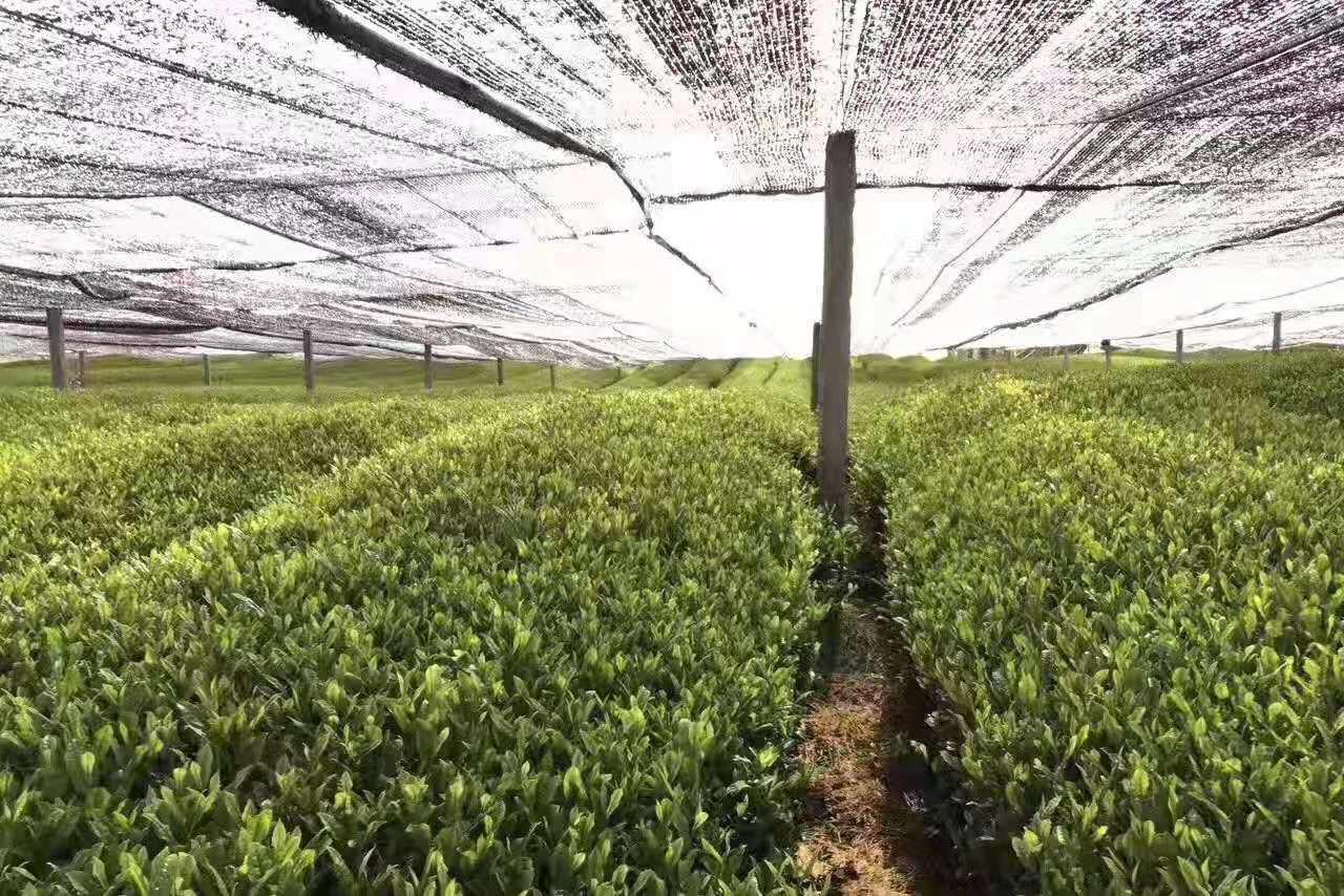 Green Tea Matcha Wholesale Matcha Tea Whisk Matcha Tea 1