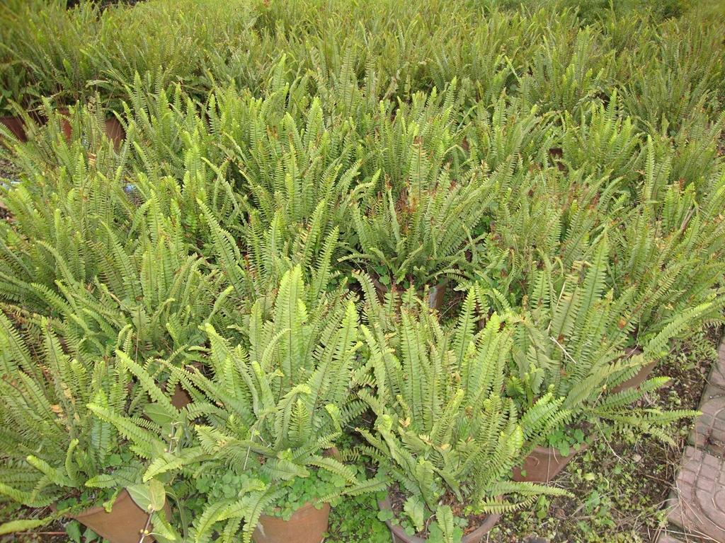 低價出售各種綠化苗木如銀杏桂花香樟廣玉蘭黃葛樹小葉榕重陽木 1
