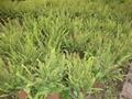 低价出售各种绿化苗木如银杏桂花