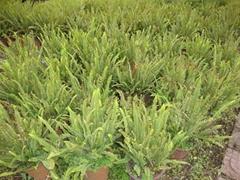 低价出售各种绿化苗木如银杏桂花香樟广玉兰黄葛树小叶榕重阳木