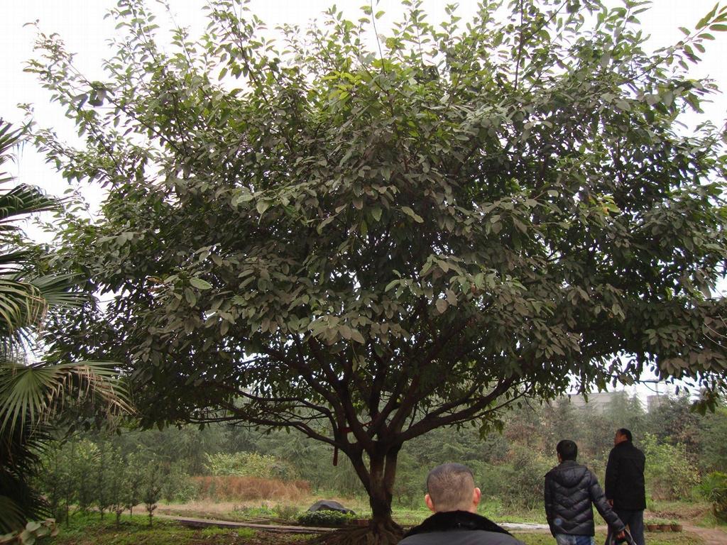 低價出售各種綠化苗木如銀杏桂花香樟廣玉蘭黃葛樹小葉榕重陽木 2
