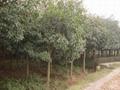 低價出售各種綠化苗木如銀杏桂花香樟廣玉蘭黃葛樹小葉榕重陽木 4
