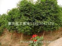 茶花櫻花紫薇紅葉李黃葛蘭九重葛 1