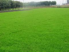 草種 草坪種子 牧草種子