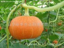 供应巨型大南瓜种子