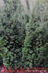 養生高檔樹種曼地亞紅豆杉