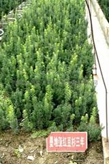 成活率  曼地亞紅豆杉種苗