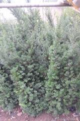 挂果曼地亞紅豆杉盆景