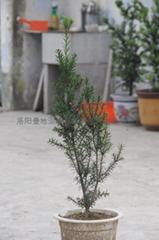 紅豆杉圖片