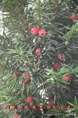挂果紅豆杉