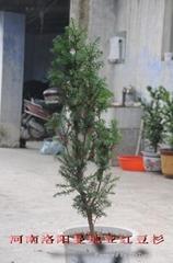 供3-15年曼地亞紅豆杉盆景